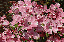 Cherokee Brave Flowering Dogwood (Cornus florida 'Cherokee Brave') at Pender Pines Garden Center