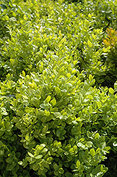 Dwarf English Boxwood (Buxus sempervirens 'Suffruticosa') at Pender Pines Garden Center