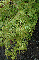 Seiryu Japanese Maple (Acer palmatum 'Seiryu') at Pender Pines Garden Center