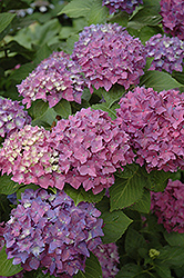 Pia Hydrangea (Hydrangea macrophylla 'Pia') at Pender Pines Garden Center