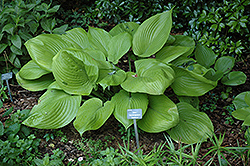 Sum and Substance Hosta (Hosta 'Sum and Substance') at Pender Pines Garden Center