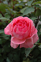Liv Tyler Rose (Rosa 'Meibacus') at Pender Pines Garden Center