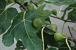 Mission Fig (Ficus carica 'Mission') at Pender Pines Garden Center