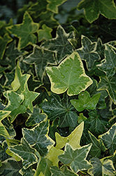 Gold Child Ivy (Hedera helix 'Gold Child') at Pender Pines Garden Center