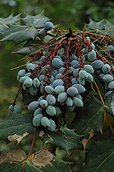 Oregon Grape (Mahonia aquifolium) at Pender Pines Garden Center