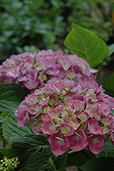 Forever And Ever Blue Heaven Hydrangea (Hydrangea macrophylla 'Forever And Ever Blue Heaven') at Pender Pines Garden Center