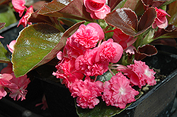 Doublet Rose Begonia (Begonia 'Doublet Rose') at Pender Pines Garden Center