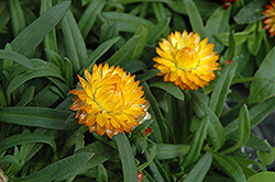 Basket Bon Bon Strawflower (Bracteantha bracteata 'Basket Bon Bon') at Pender Pines Garden Center