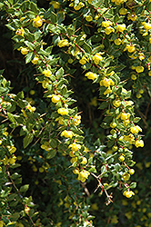 Wintergreen Barberry (Berberis julianae) at Pender Pines Garden Center