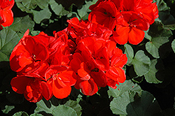 Patriot Red Geranium (Pelargonium 'Patriot Red') at Pender Pines Garden Center
