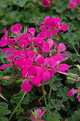 Lavender Ivy Leaf Geranium (Pelargonium peltatum 'Lavender') at Pender Pines Garden Center