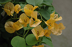 Gold Rush Bougainvillea (Bougainvillea 'Gold Rush') at Pender Pines Garden Center
