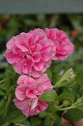 Double Wave Pink Petunia (Petunia 'Double Wave Pink') at Pender Pines Garden Center