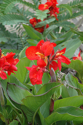 Tropical Red Canna (Canna 'Tropical Red') at Pender Pines Garden Center
