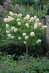 Limelight Hydrangea (tree form) (Hydrangea paniculata 'Limelight (tree form)') at Pender Pines Garden Center
