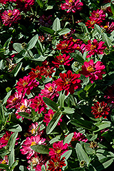 Profusion Double Cherry Zinnia (Zinnia 'Profusion Double Cherry') at Pender Pines Garden Center