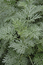 Powis Castle Artemesia (Artemisia 'Powis Castle') at Pender Pines Garden Center