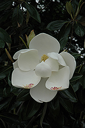 Teddy Bear® Magnolia (Magnolia grandiflora 'Southern Charm') at Pender Pines Garden Center