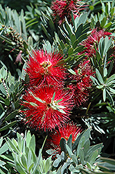 Little John Dwarf Bottlebrush (Callistemon citrinus 'Little John') at Pender Pines Garden Center
