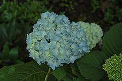 Mini Penny Hydrangea (Hydrangea macrophylla 'Mini Penny') at Pender Pines Garden Center