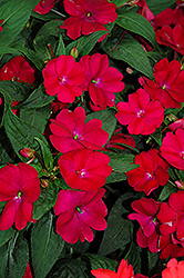 SunPatiens® Compact Royal Magenta New Guinea Impatiens (Impatiens 'SunPatiens Compact Royal Magenta') at Pender Pines Garden Center