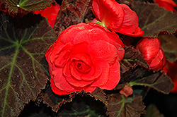 Nonstop® Mocca Cherry Begonia (Begonia 'Nonstop Mocca Cherry') at Pender Pines Garden Center