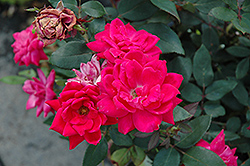 Red Double Knock Out Rose (Rosa 'Red Double Knock Out') at Pender Pines Garden Center