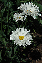 Crazy Daisy Shasta Daisy (Leucanthemum x superbum 'Crazy Daisy') at Pender Pines Garden Center