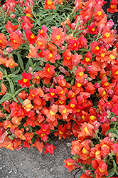 Candy Showers Orange Snapdragon (Antirrhinum majus 'Candy Showers Orange') at Pender Pines Garden Center