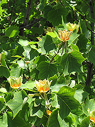 Tuliptree (Liriodendron tulipifera) at Pender Pines Garden Center