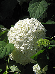 White Bigleaf Hydrangea (Hydrangea macrophylla 'Alba') at Pender Pines Garden Center