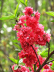 Double Red Flowering Peach (Prunus persica 'Double Red') at Pender Pines Garden Center