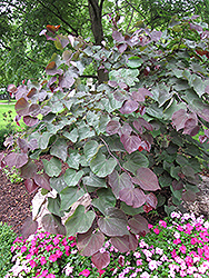 Forest Pansy Redbud (Cercis canadensis 'Forest Pansy') at Pender Pines Garden Center