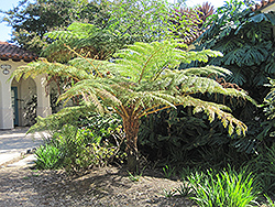 Australian Tree Fern (Cyathea cooperi) at Pender Pines Garden Center