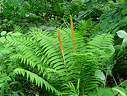 Cinnamon Fern (Osmunda cinnamomea) at Pender Pines Garden Center