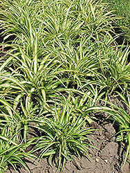 Variegated Spider Plant (Chlorophytum comosum 'Variegatum') at Pender Pines Garden Center