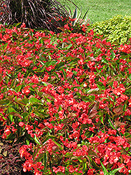 Dragon Wing Red Begonia (Begonia 'Dragon Wing Red') at Pender Pines Garden Center