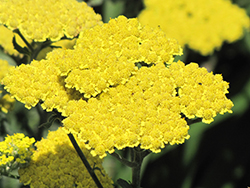 Moonshine Yarrow (Achillea 'Moonshine') at Pender Pines Garden Center