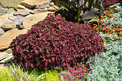 ColorBlaze® Kingswood Torch Coleus (Solenostemon scutellarioides 'Kingswood Torch') at Pender Pines Garden Center