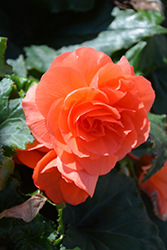 Nonstop® Deep Salmon Begonia (Begonia 'Nonstop Deep Salmon') at Pender Pines Garden Center