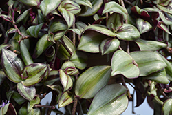 Wandering Jew (Tradescantia zebrina) at Pender Pines Garden Center