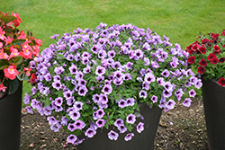 Supertunia® Bordeaux Petunia (Petunia 'Supertunia Bordeaux') at Pender Pines Garden Center