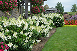 Fire Light® Hydrangea (Hydrangea paniculata 'SMHPFL') at Pender Pines Garden Center