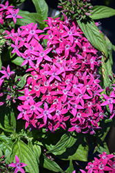 Graffiti® Violet Star Flower (Pentas lanceolata 'Graffiti Violet') at Pender Pines Garden Center
