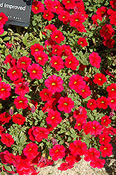 Noa Red Calibrachoa (Calibrachoa 'Noa Red') at Pender Pines Garden Center