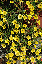 Million Bells® Neon Yellow Calibrachoa (Calibrachoa 'Million Bells Neon Yellow') at Pender Pines Garden Center