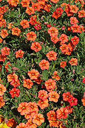 Million Bells® Crackling Fire Calibrachoa (Calibrachoa 'Million Bells Crackling Fire') at Pender Pines Garden Center