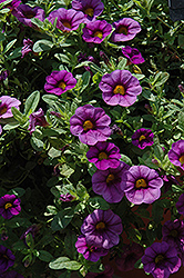 Million Bells® Bouquet Amethyst Calibrachoa (Calibrachoa 'Million Bells Bouquet Amethyst') at Pender Pines Garden Center