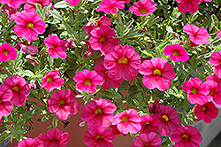 Million Bells® Bouquet Cherry Red Calibrachoa (Calibrachoa 'Million Bells Bouquet Cherry Red') at Pender Pines Garden Center