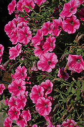 Supertunia® Mini Strawberry Pink Vein Petunia (Petunia 'Supertunia Mini Strawberry Pink Vein') at Pender Pines Garden Center